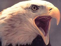 aigle ?? blanche
